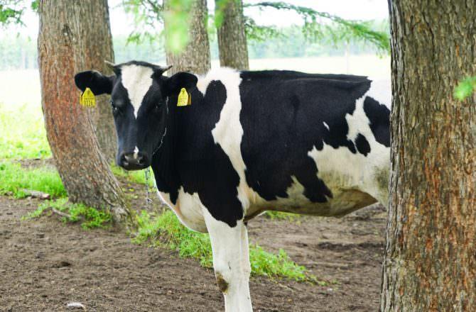 【北海道中標津】養老牛放牧牛乳|山本社長獨家採訪